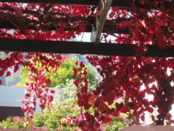 Beautiful autumn colours on the vine-covered patios