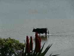 The scared Transkei cow