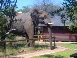 Elephant visiting the camp