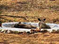 Baby Warthogs swimming in the water hole