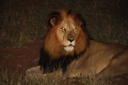 Lion during a night safari