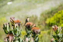 Sunbird perched on pincushion fynbos in the garden