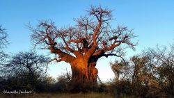 Baobabs on Zingela Game Reserves